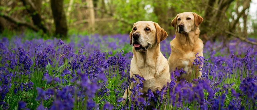 Dogs Labradors in blue bell field cropped.jpg
