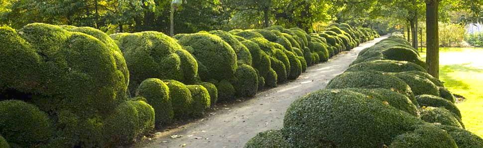 Cloud Pruned Boxwood Walk