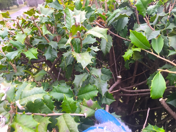 Holly hedge thinning/renovation pruning detail; to allow in more sunlight and air circulation for a healthier hedge.