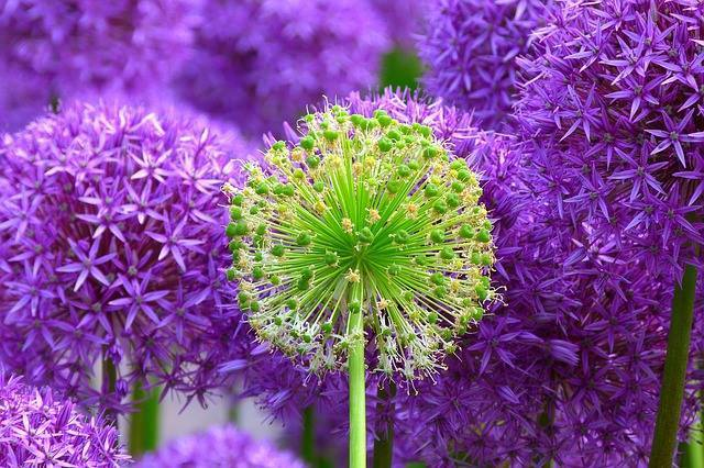 Alliums (ornamental onions) in bloom