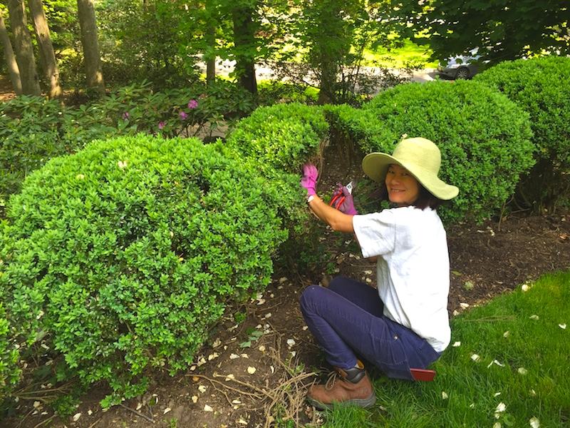 Estate gardener thinning interior growth of American Boxwood