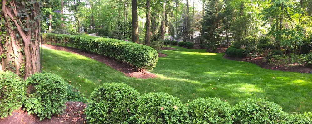 Boxwood shade garden after renovation pruning and thinning