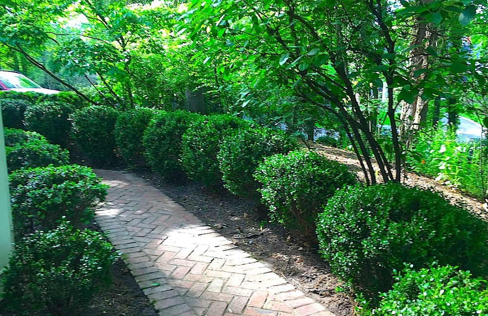Shade garden brick walk, Korean Boxwood after renovation thinning