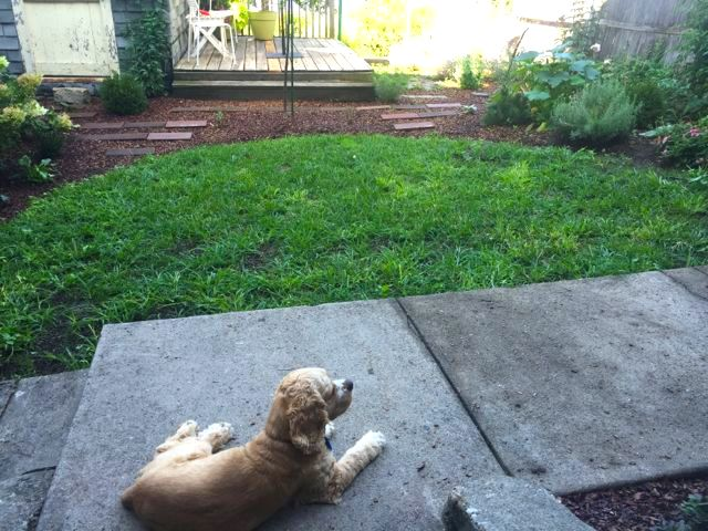 August 2016 - Freckles surveying our new garden - just watered and verdant - late summer 2016 - overlooking the Hudson River. Planting in progress.