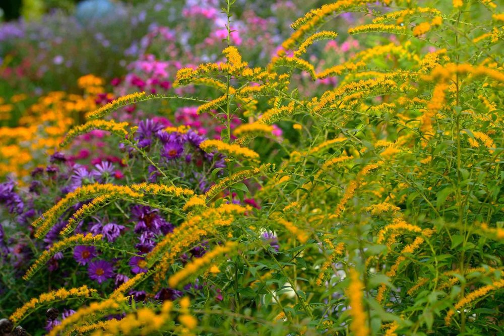 Native  Solidago  Golden Rod with Asters and other natives late summer  Photo By: Andrea Haumer©