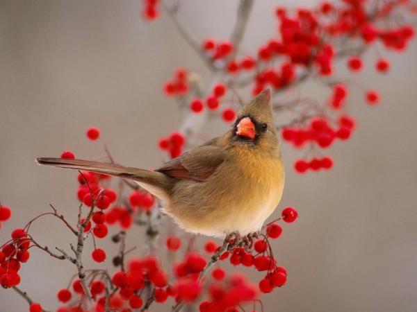 Female Cardinal with striking winter fruit display