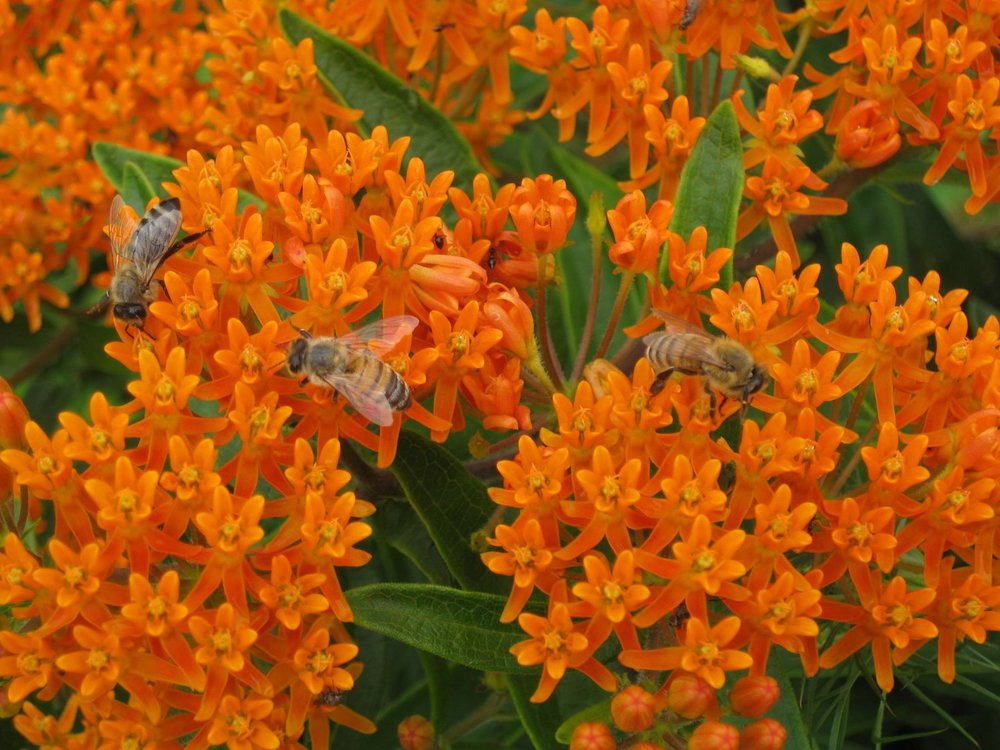 Bees pollinating native Butterfly Weed