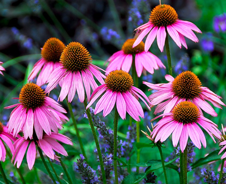 Native Purple Coneflower or Echinacea