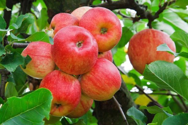 Apples on tree red.JPG