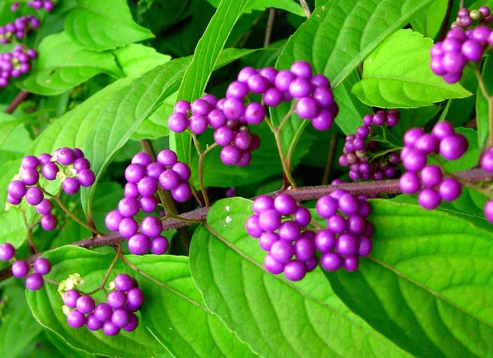 Beautyberry -  Callicarpa