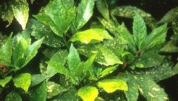 Aucuba japonica  'Gold Dust'