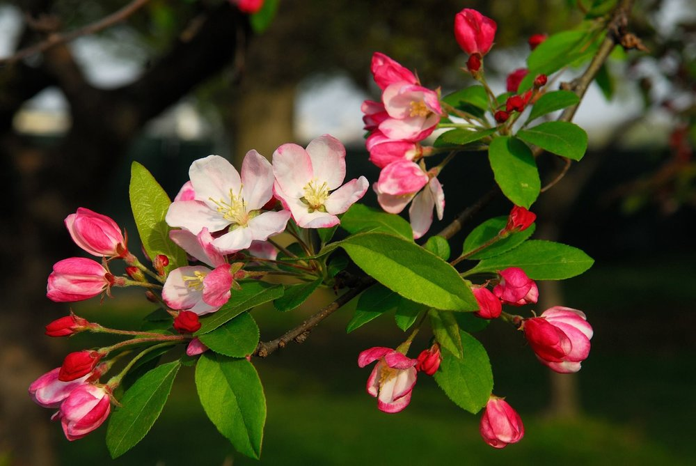 Crab Apple Spring Blossoms
