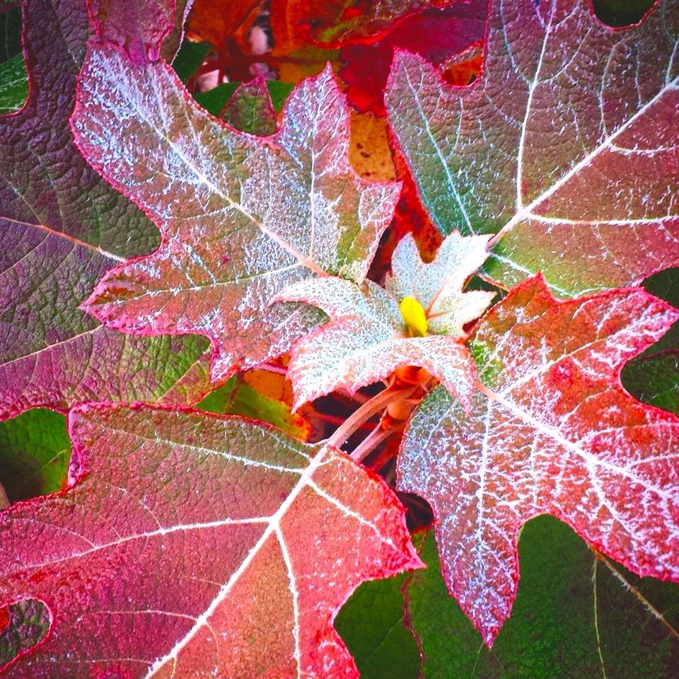 Oakleaf Hydrangea With Frost