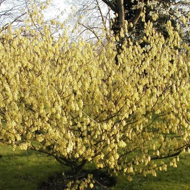 Corylopsis  or Winter Hazels - late Winter blooms