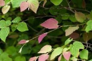 Emergent Spring Foliage of Winter Hazel