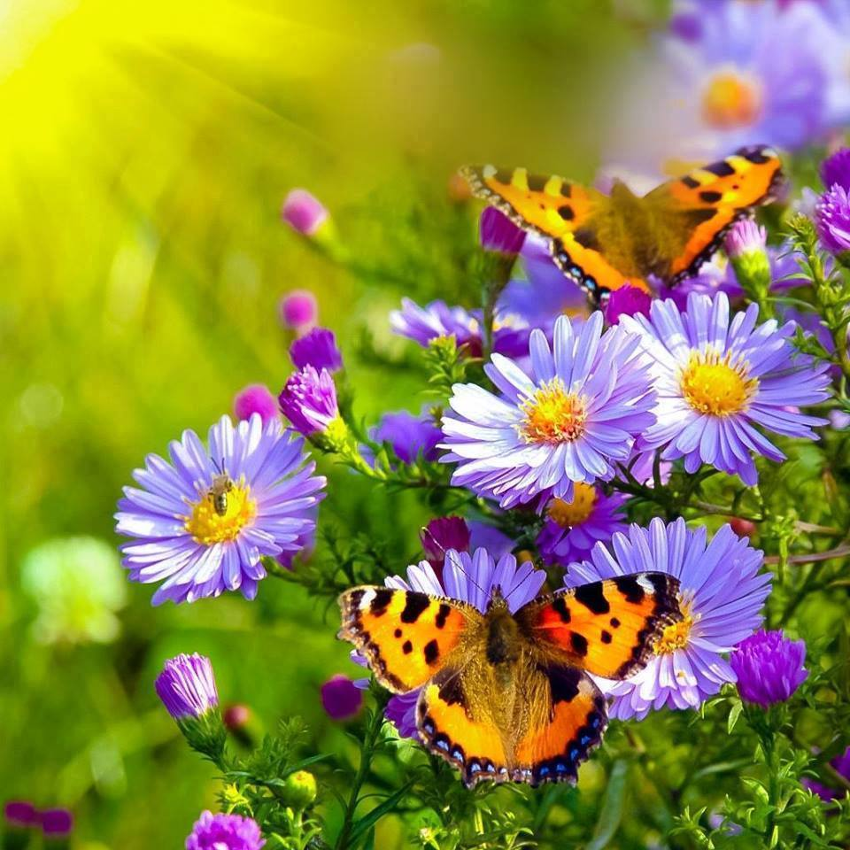 Asters with Butterflies.jpg