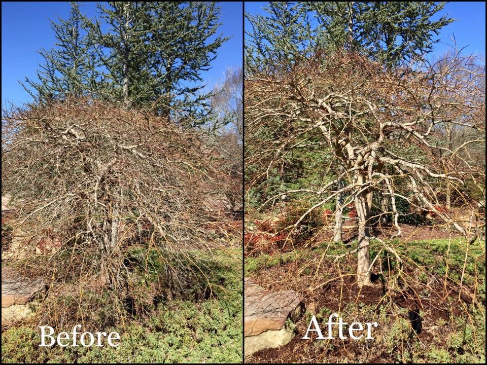 Pruning Of Weeping Japanese Maple Before And After Thinning