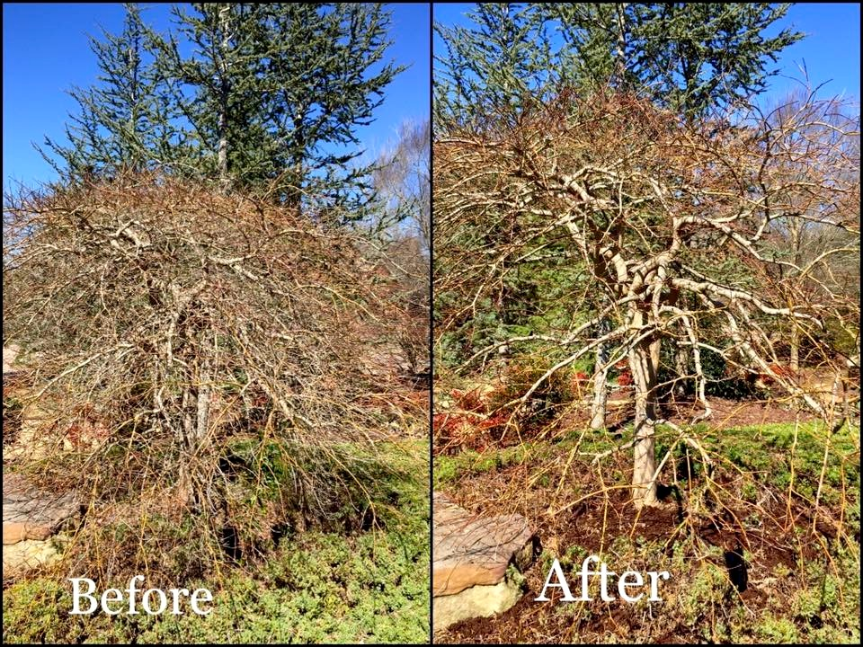 Prune_Japanese_Maple_thining_before-after.jpg