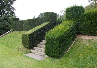 Yew or  Taxus  hedge pruning in progress