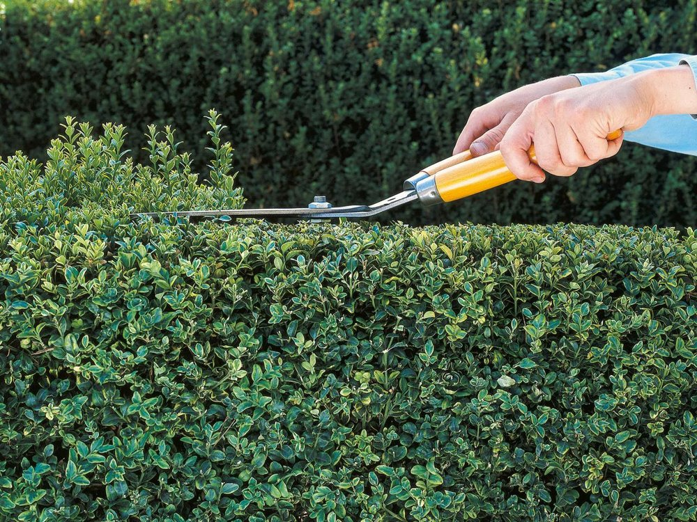 Boxwood Hedge Trimming With Hand Shears