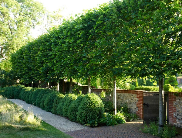 Pleached Linden Tree Hedge With Informal Boxwood Hedge