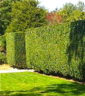 Formal Privet Hedges In Summer (Deciduous)