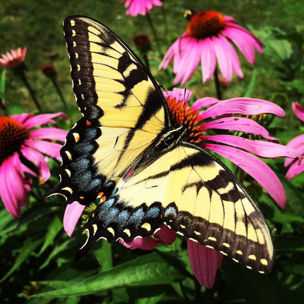 Swallowtail Butterfly with Native Purple Coneflower or Echinacea    Photo: Betsy Gicquel