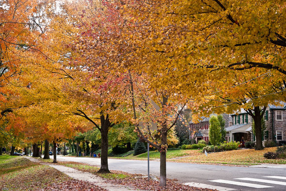 StreetTrees_Maples_Autumn_residential.jpg