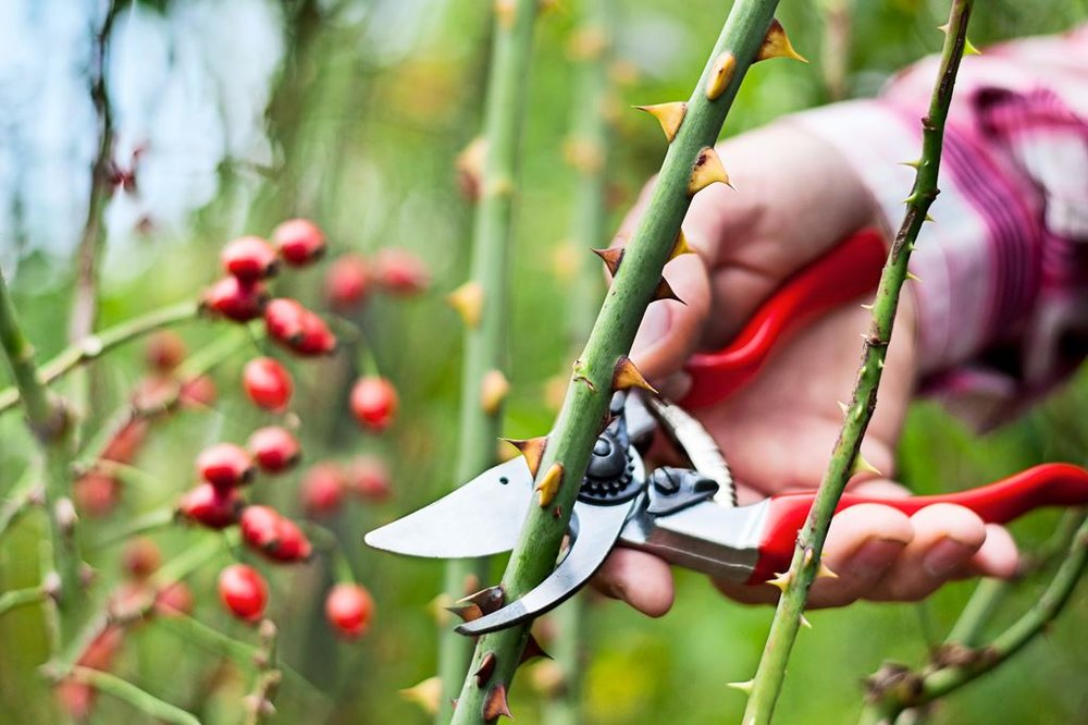 Rose_pruning_clippers_cane_rose-hips.jpg