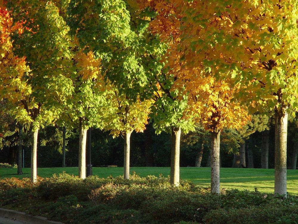 Street_Trees_Maples_Fall_Sunlit.jpg
