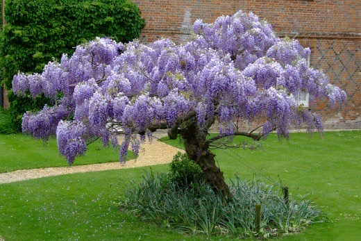 Wisteria_tree_form_lawn.jpg