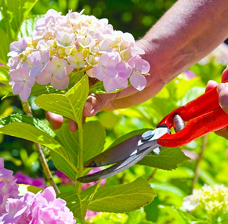Pruning Hydrangea both hands detail.jpeg