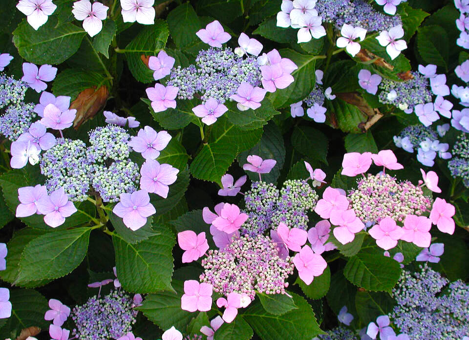 Lacecap Hydrangea in bloom Summer