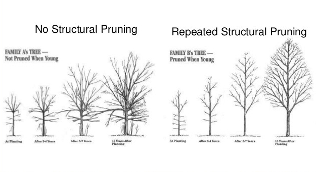 Friends of The Urban Forest: Vital Importance of Pruning Developing Trees