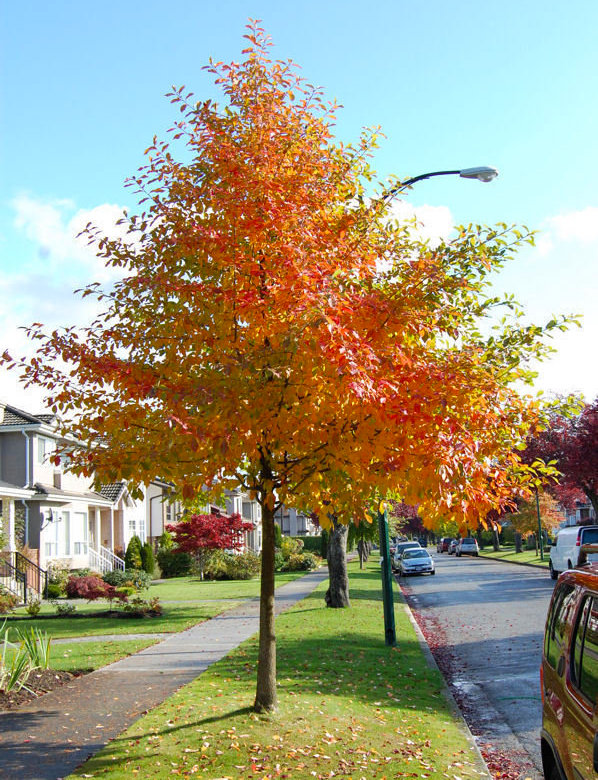 Tree_Nyssa_Tupelo_Fall_Color_streetscape.jpg