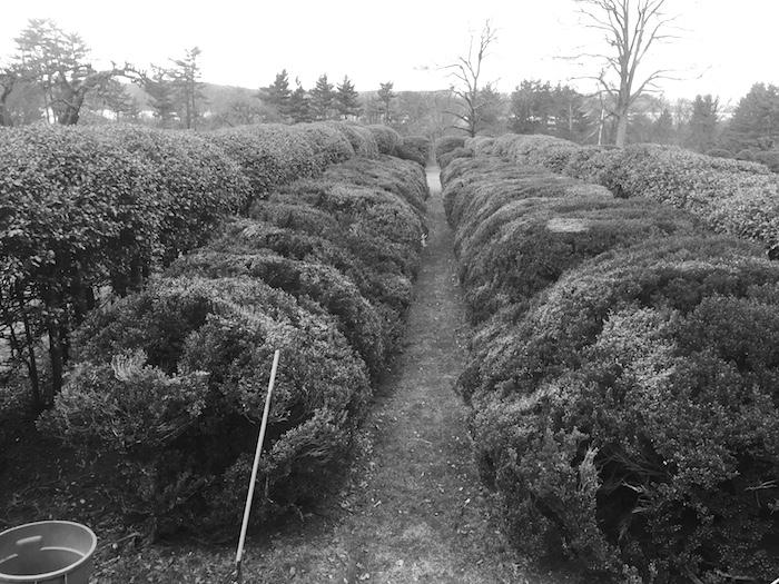 Estate boxwood walk birds eye view BEFORE renovation pruning to reduce scale, reveal form and improve air circulation.