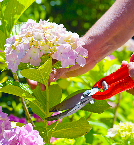 Pruning Hydrangea both hands detail cropped.jpeg