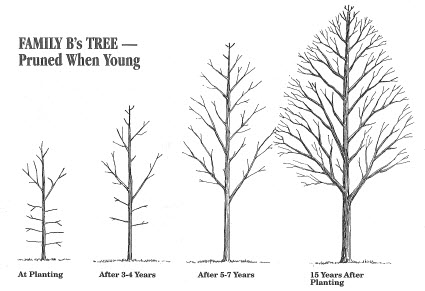 Successful, Healthy Trees Develop and Thrive With Structural Pruning