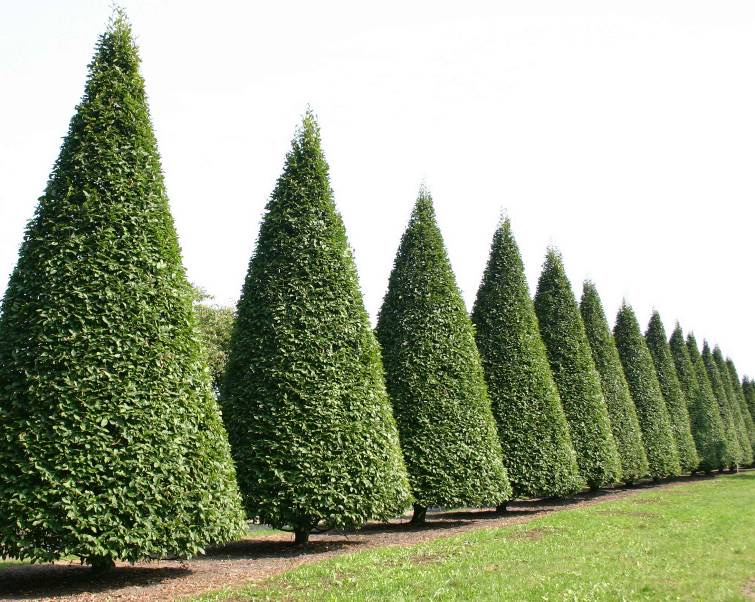 Topiary - Field Grown Matched Specimens