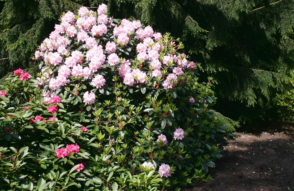 Spectrum of Large Scale Rhododendron and Other Evergreens