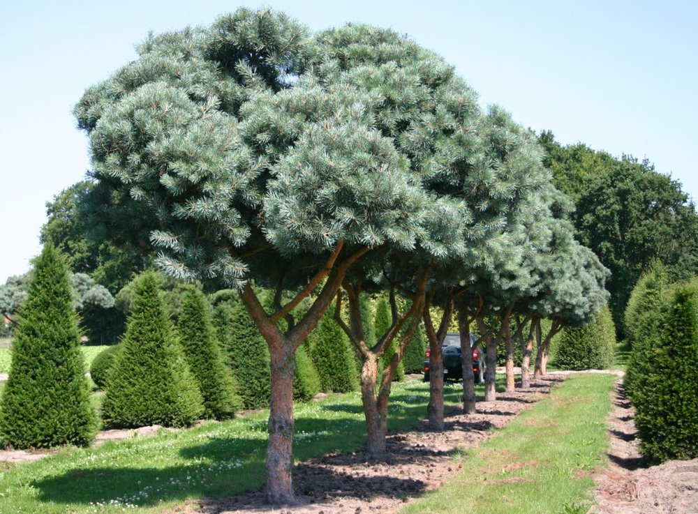 Large Scale Specialty Conifer Selections