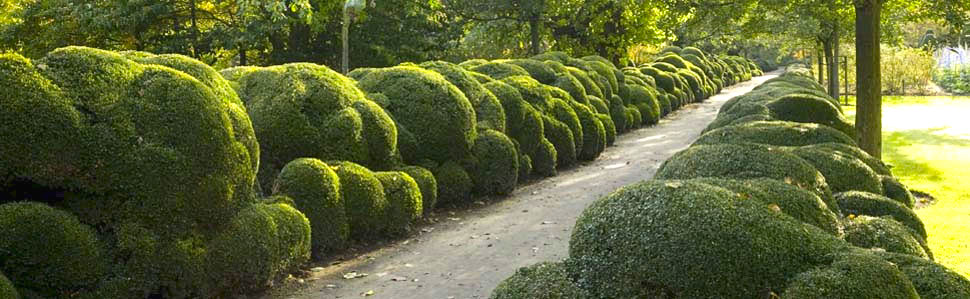 Historic Cloud Pruned Boxwood Walk