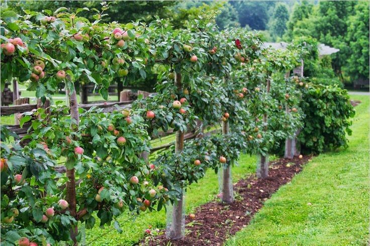 Espalier_apples_row_garden