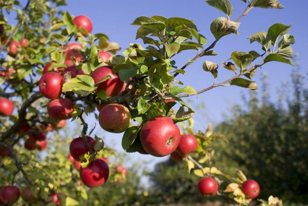 Apples_ontree_red_fresh_2.jpg