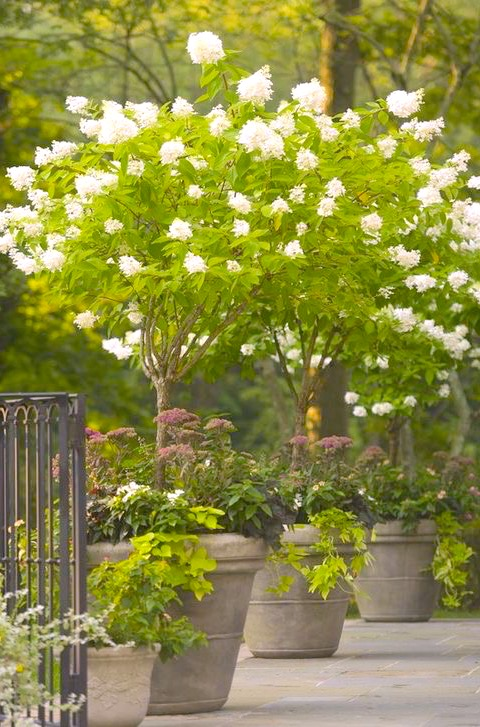 Hydrangea_tree_potted_white.jpg