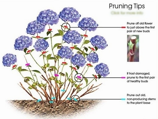 Hydrangea_pruning_how-to_diagram_color.jpg