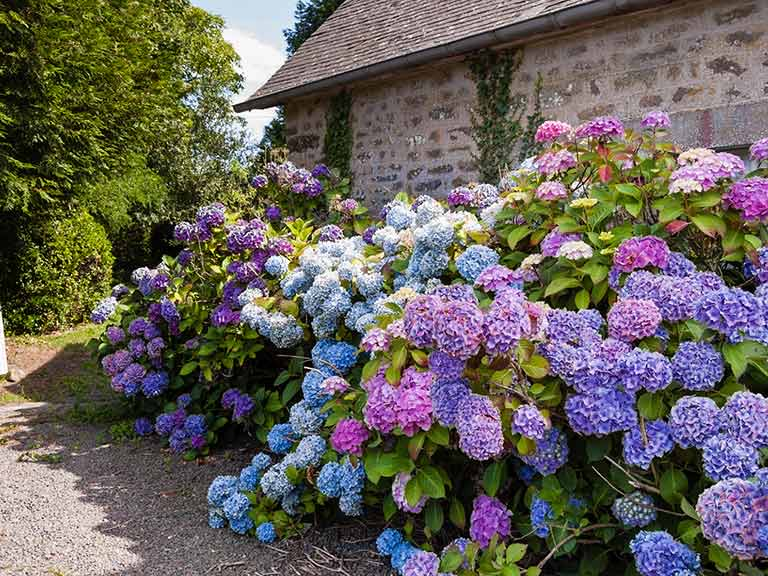 Hydrangeas_summer_color_stone_cottage.jpg