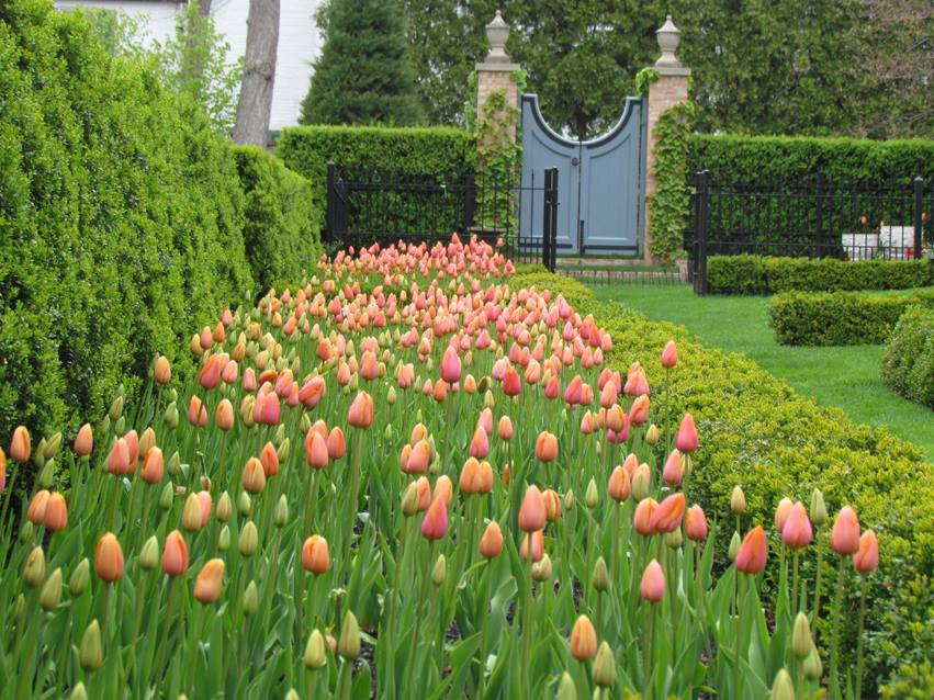 Garden Tulips Blue Gate Bow Hedge.jpg