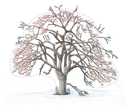 Diagram Illustrating Typical Fruit Tree Pruning - Removing Defects, Dead, Diseased and Extraneous Limbs and Branches