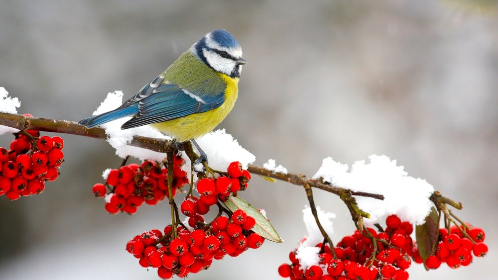 Bird on branch red berries snow.jpg